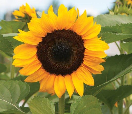 Health benefits of sunflower