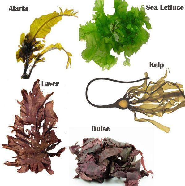 Health Benefits of Sea Vegetables