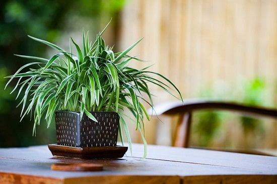 Health benefits of spider plan