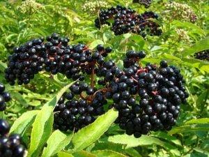 elderberries health benefits