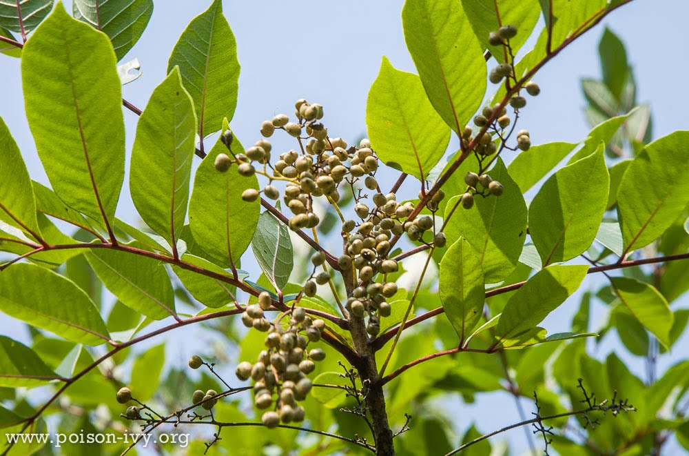 how to kill poison ivy plants naturally