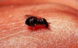 gnat bites natural treatment