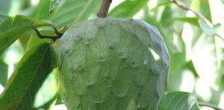 cherimoya health benefits