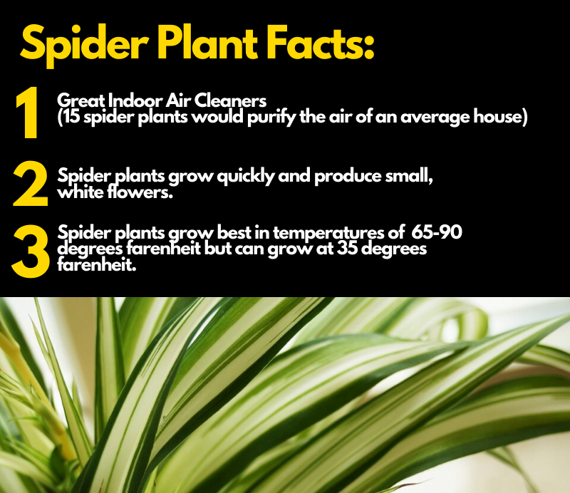Health benefits of spider plant