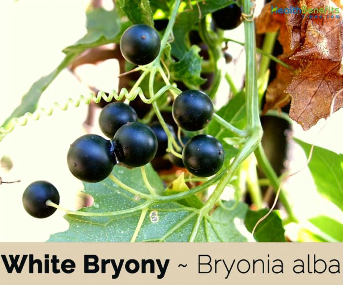 White Bryony