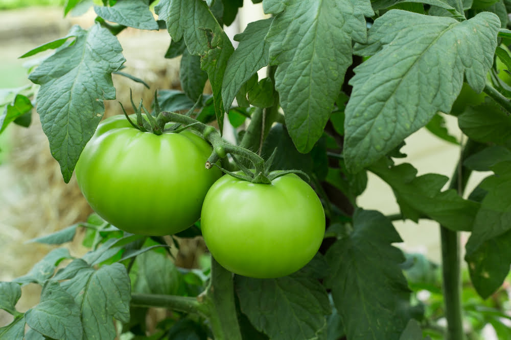 Health benefits of green tomatoes