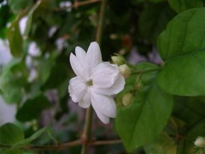 benefits of Arabian jasmine