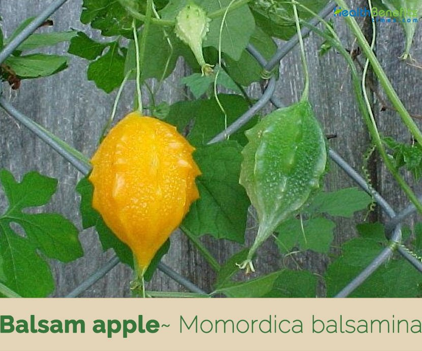 Here are some health benefits of balsam apple