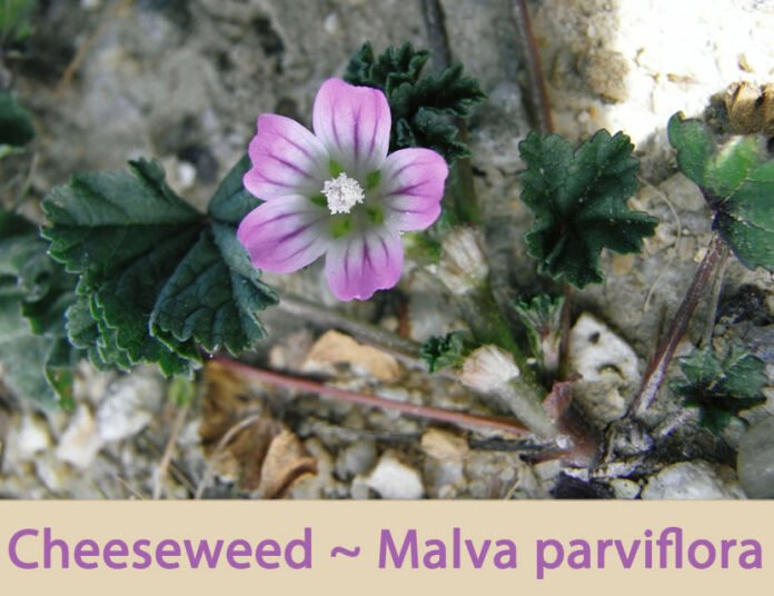 Health benefits of cheeseweed
