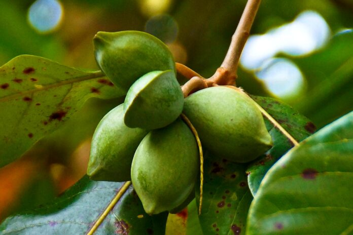 Health benefits of Indian almond