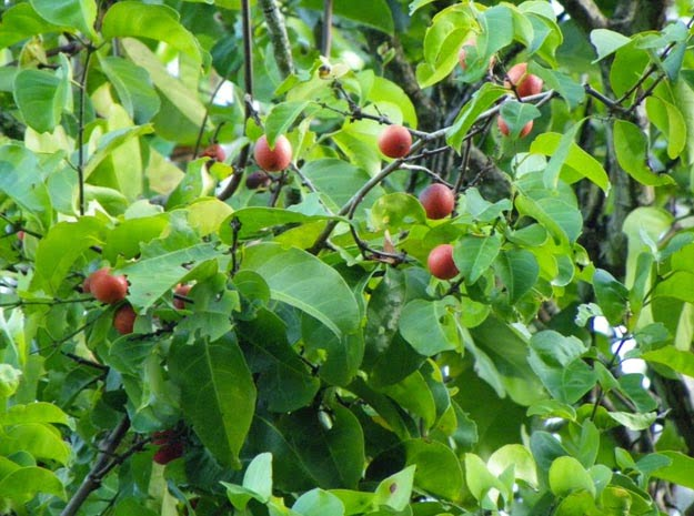 Health benefits of Salacia reticulate