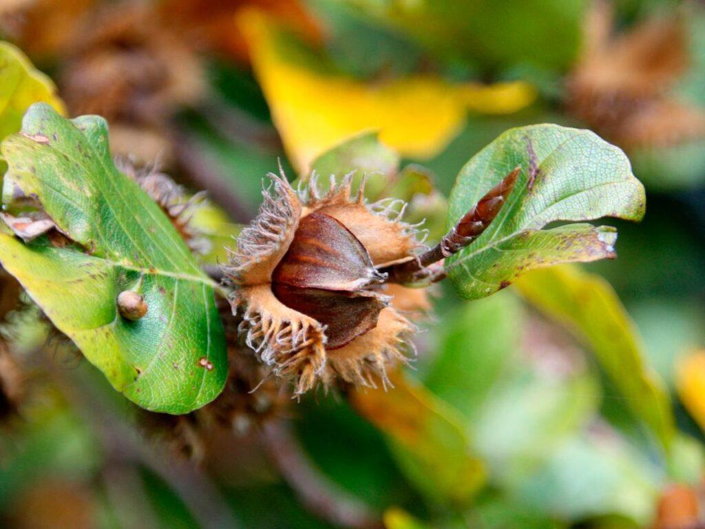 Health benefits of beech nut