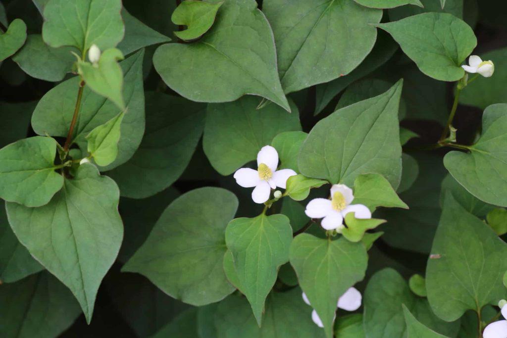 Health benefits of chameleon plant