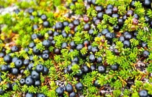 Health benefits of crowberries