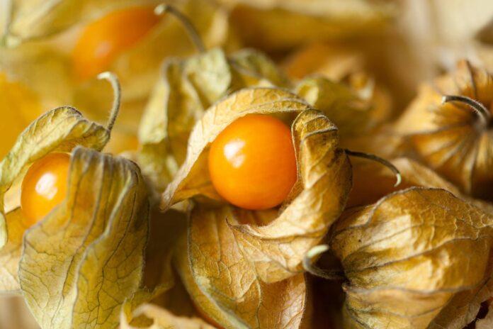 Health benefits of cutleaf ground cherry