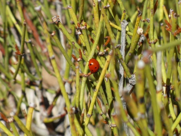 Health benefits of ephedra