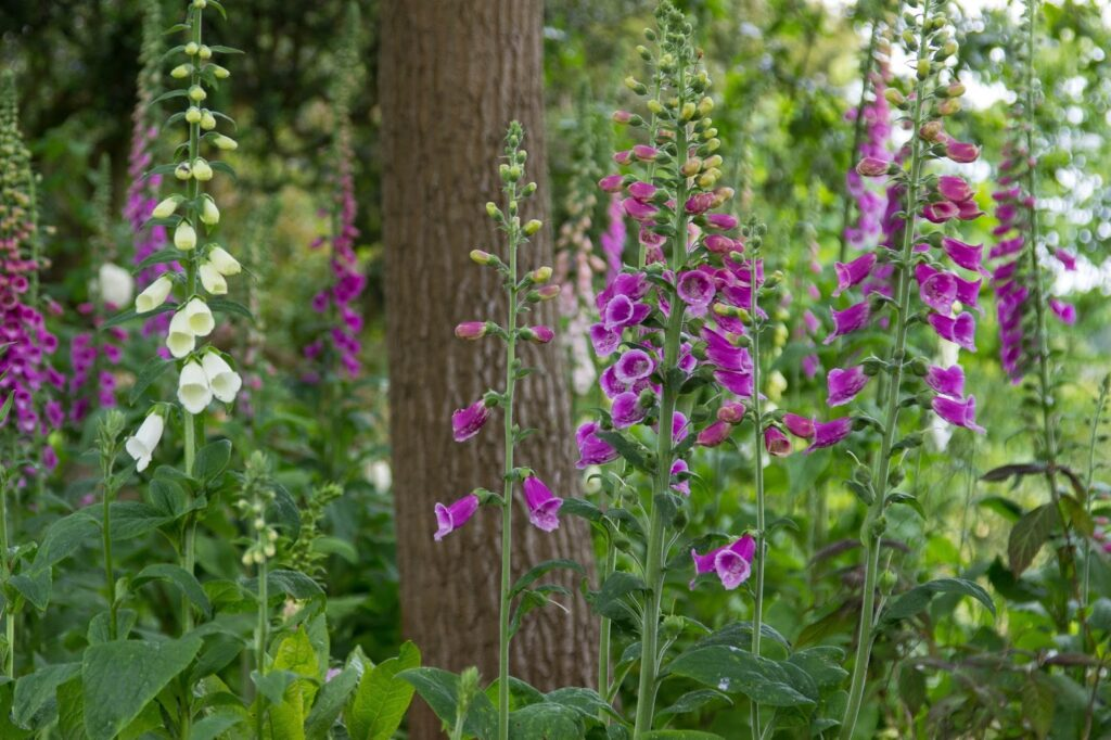 Health benefits of foxgloves