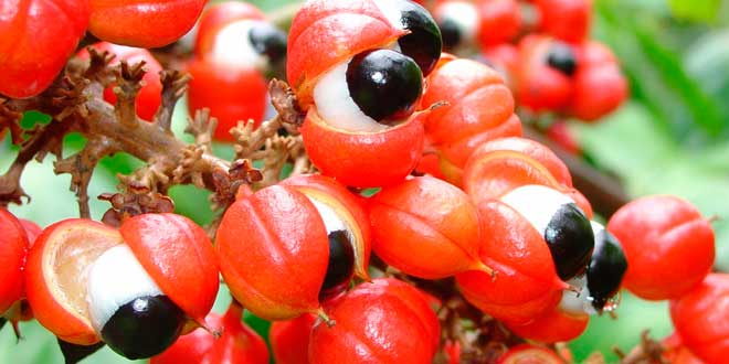 Health benefits of guarana