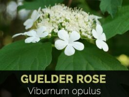 Health benefits of guelder rose