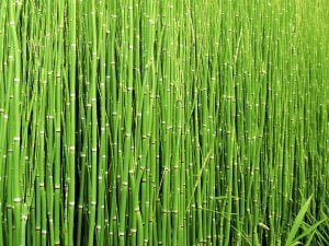 Health benefits of horsetail