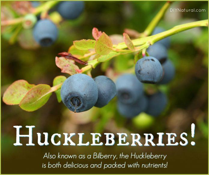 Health benefits of huckleberry