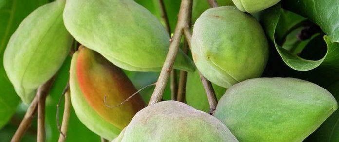 """Avantages pour la santé de la prune de kakadu """"title ="""" Avantages pour la santé de la prune de kakadu"""