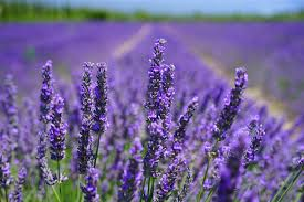 Health benefits of lavender tea