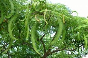 Health benefits of lead tree