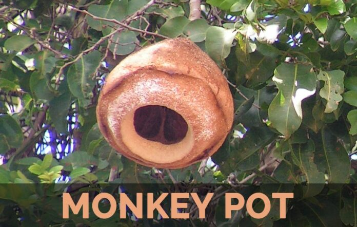 Health benefits of monkey pot