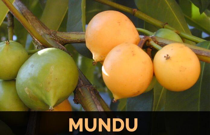 Health benefits of mundu