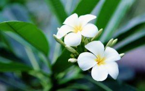 Health benefits of plumeria essential oil