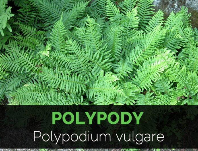 Health benefits of polypody