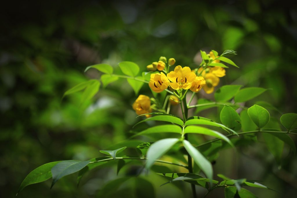 Health benefits of senna plant