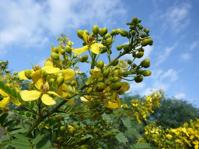 Health benefits of senna plant
