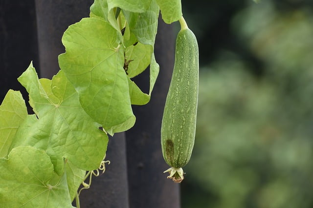 Health benefits of the ridge gourd