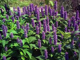 Health benefits of water hyssop