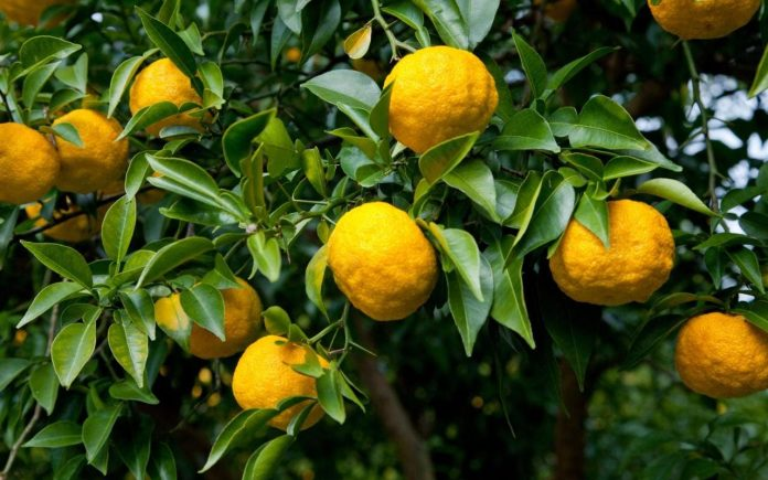 Health benefits of yuzu fruit