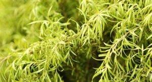 Heath benefits of tea tree oil