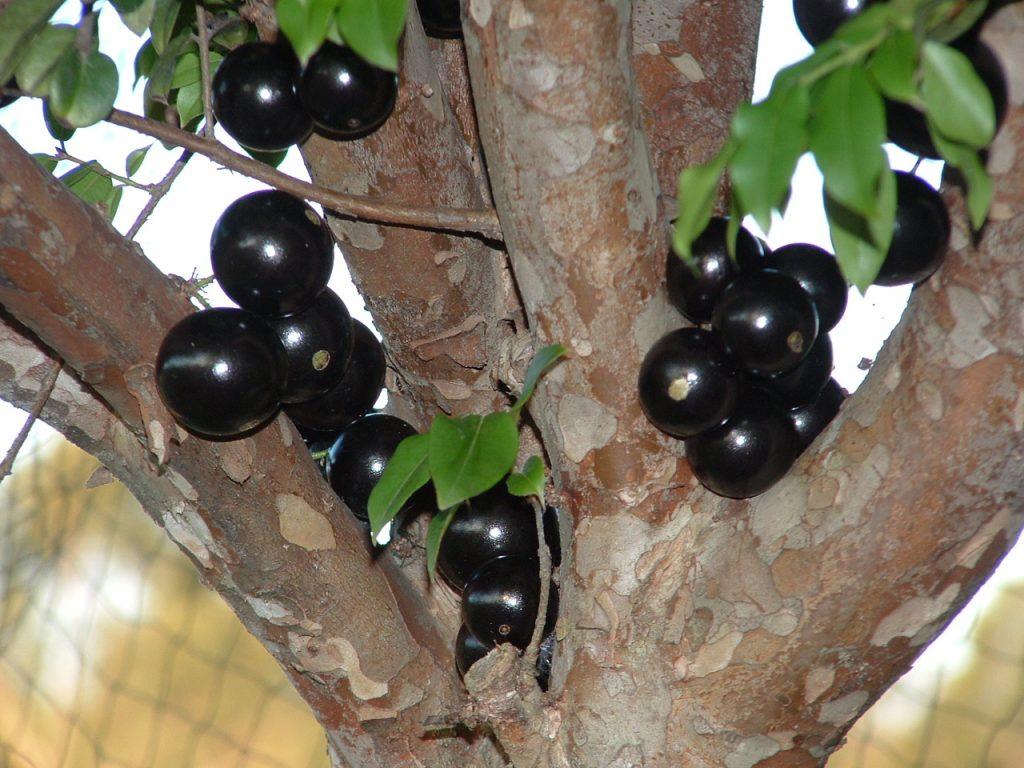 Health benefits of jabuticaba