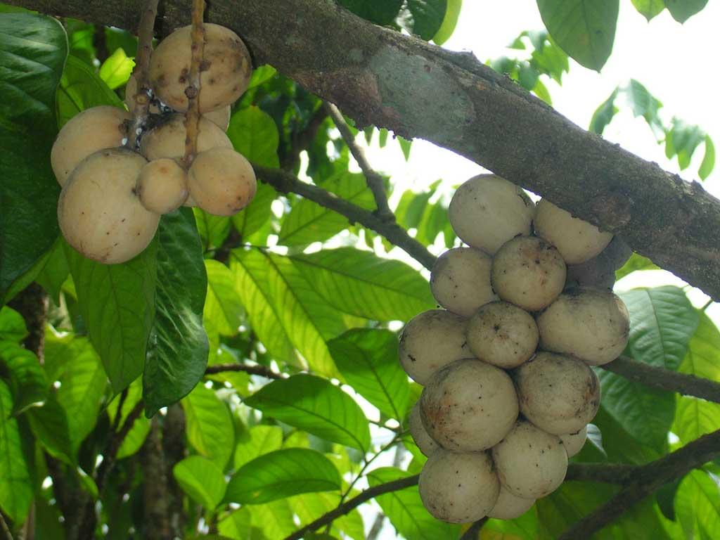 Health benefits of langsat fruit