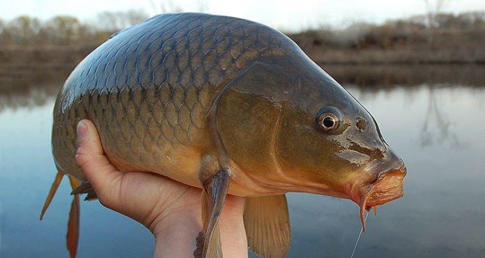 Health benefits of carp