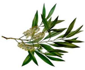 Health benefits of melaleuca oil