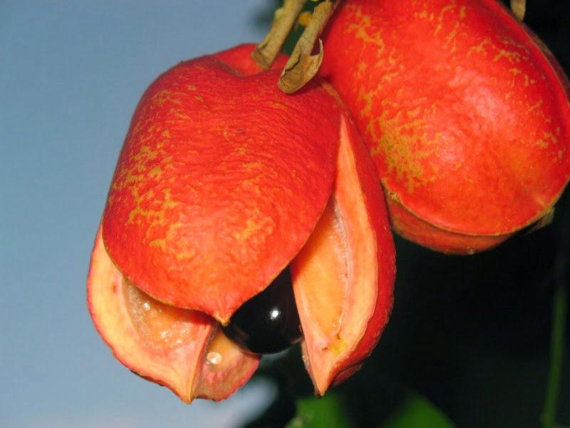 Health benefits of ackee