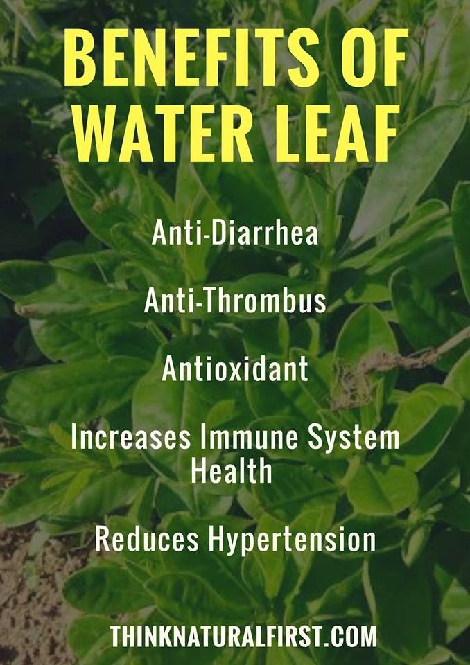 Waterleaf: Top 7 Essential Health Benefits