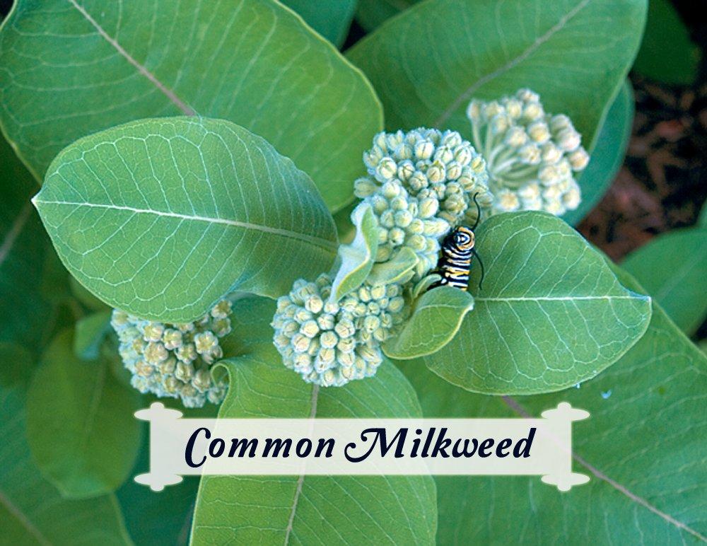 Health Benefits Of Milkweed