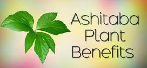 ashitaba benefits in tagalog