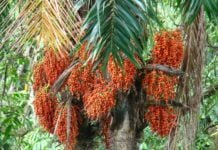 Health benefits of peach palm