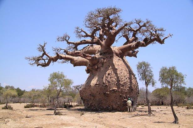 benefits of baobab