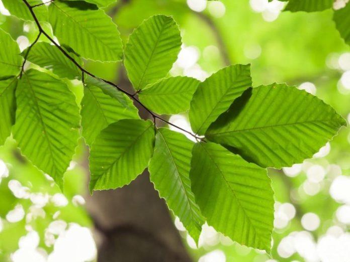 beech leaves edible