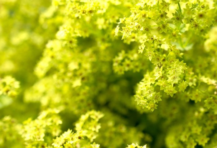 Health benefits of lady's mantle